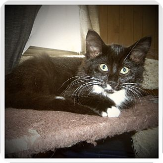 Maine Coon Kitten for adoption in Medford, Wisconsin - SERINITY