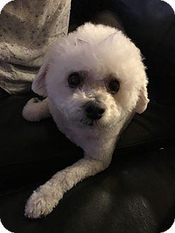 Bichon Frise Dog for adoption in Las Vegas, Nevada - Coco