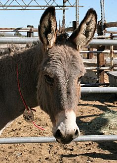 Donkey/Mule/Burro/Hinny for adoption in Phelan, California - Miney