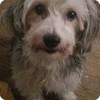 Adopt A Pet :: Lila - Detroit, MI