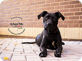 Labrador Retriever Mix Dog for adoption in Charlotte, North Carolina - Rio