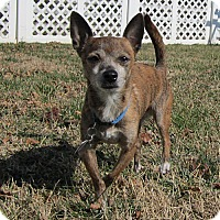 Chihuahua Dog for adoption in Essex, Maryland - Pedro