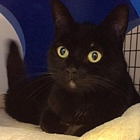 Domestic Shorthair Cat for adoption in Seal Beach, California - Lilly