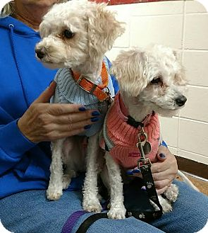 Maltese/Poodle (Miniature) Mix Dog for adoption in Huntley, Illinois - PeeWee and Apricot