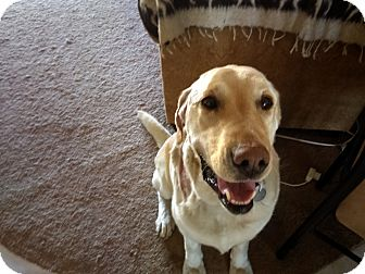 Labrador Retriever Dog for adoption in Phoenix, Arizona - Sammy
