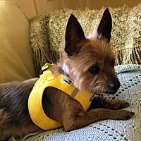Adopt A Pet :: Winston - Portland, OR