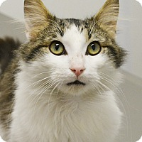 Domestic Mediumhair Cat for adoption in Springfield, Illinois - Tripp