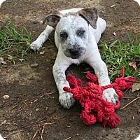 Adopt A Pet :: Dapple - Houston, TX