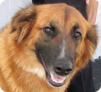 German Shepherd Dog Mix Dog for adoption in Germantown, Maryland - Charmaine