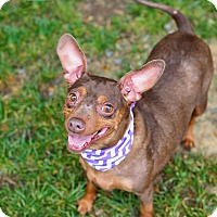 Adopt A Pet :: Ruby Tuesday - Whitehall, PA