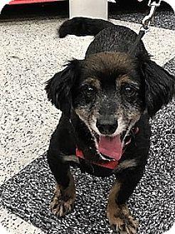 Spaniel (Unknown Type)/Dachshund Mix Dog for adoption in Sacramento, California - Rudy-ADOPTION PENDING