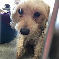 Adopt A Pet :: Lullaby - Encino, CA