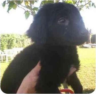 Labrador Retriever Mix Puppy for adoption in Coral Springs, Florida - Beth