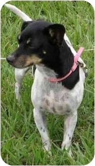 Rat Terrier/Terrier (Unknown Type, Small) Mix Dog for adoption in Port Lavaca, Texas - Chrissy
