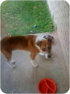 Boxer Mix Dog for adoption in Haughton, Louisiana - BOXER MIX