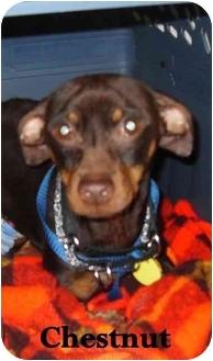 Miniature Pinscher Mix Dog for adoption in Appleton, Wisconsin - Chestnut