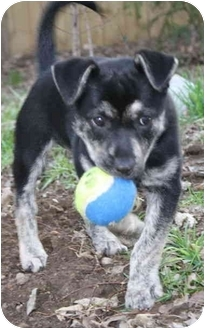 Australian Cattle Dog/Chihuahua Mix Puppy for adoption in Nashville, Tennessee - Maggie