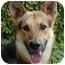 Photo 4 - German Shepherd Dog Mix Dog for adoption in Los Angeles, California - Maximilliam von Magdeburg