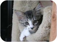 Domestic Shorthair Kitten for adoption in Tampa, Florida - Baby