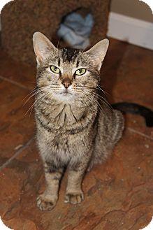 Domestic Shorthair Cat for adoption in Xenia, Ohio - Pattie