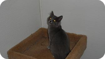 Russian Blue Cat for adoption in Seattle, Washington - Austin