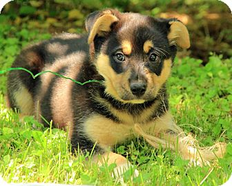 St. Bernard Mix Puppy for adoption in Staunton, Virginia - Rylee