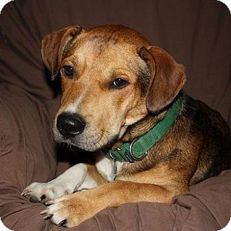 Basset Hound Mix Dog for adoption in Columbia, Illinois - Elroy