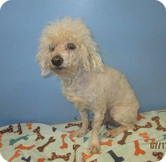 Poodle (Miniature) Mix Dog for adoption in Wappingers, New York - Milton