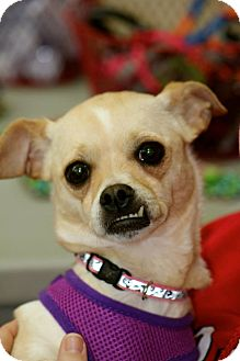 Chihuahua Mix Dog for adoption in Grand Rapids, Michigan - Butter