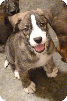 Fox Terrier (Wirehaired)/Hound (Unknown Type) Mix Puppy for adoption in Brattleboro, Vermont - RILEY