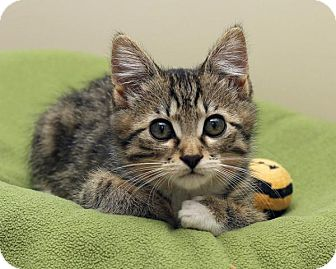 Domestic Shorthair Kitten for adoption in Bellingham, Washington - Phoebe