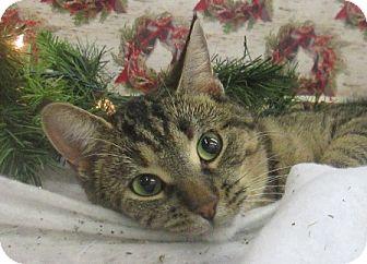 Domestic Shorthair Cat for adoption in Lloydminster, Alberta - Wynn