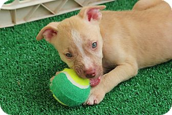 Pit Bull Terrier Puppy for adoption in Seguin, Texas - McGee
