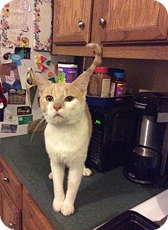 Domestic Shorthair Cat for adoption in Queensbury, New York - Flynn