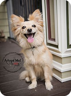 American Eskimo Dog/Chihuahua Mix Dog for adoption in Houston, Texas - Foxxy and Bella