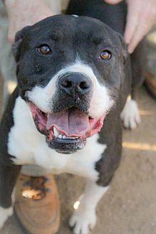 American Bulldog Mix Dog for adoption in Bertram, Texas - Floyd