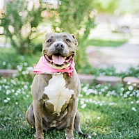 Pit Bull Terrier Mix Dog for adoption in Pueblo, Colorado - Thunder