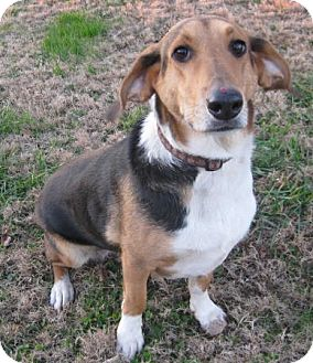 Collie/Basset Hound Mix Dog for adoption in Huntsville, Alabama - Mrs. Watson
