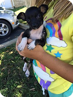 Chihuahua/Dachshund Mix Puppy for adoption in Fairview Heights, Illinois - Ambrosia