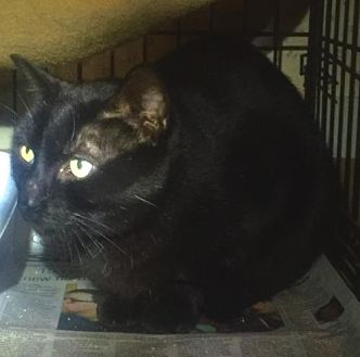 Domestic Shorthair Cat for adoption in Stanhope, New Jersey - Charlie 3