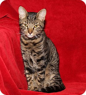 Domestic Shorthair Cat for adoption in Marietta, Ohio - Clyde (Neutered)