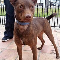 Adopt A Pet :: Hershey - Houston, TX