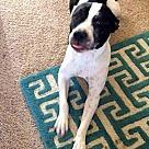 Adopt A Pet :: Sweetie - Denton, TX