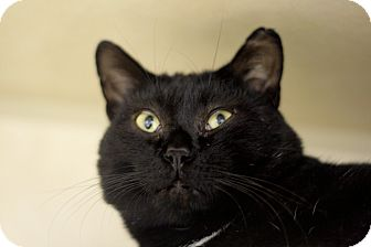 Domestic Shorthair Cat for adoption in Chicago, Illinois - Benedict