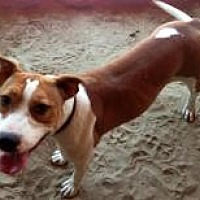 Pit Bull Terrier/Terrier (Unknown Type, Medium) Mix Dog for adoption in Fowler, California - Ava
