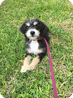 Poodle (Miniature) Mix Puppy for adoption in Portland, Oregon - Morris