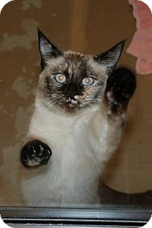 Siamese Cat for adoption in Salem, West Virginia - Star Star