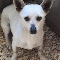 Terrier (Unknown Type, Small) Mix Dog for adoption in Forest grove, Oregon - Clyde