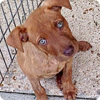 Vizsla/Great Dane Mix Puppy for adoption in HAGGERSTOWN, Maryland - JEFFERSON