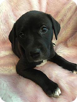 Labrador Retriever/Pointer Mix Puppy for adoption in Southbury, Connecticut - Jill